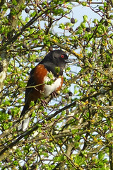 Spotted Towhee (Delta Naturalists Casual Birding) Tags: 201414 dncb colony dncblocation