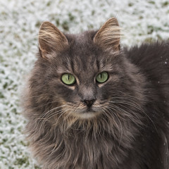 Tell mom that I have a winter coat ! (FocusPocus Photography) Tags: fynn fynnegan katze kater cat chat gato tier animal haustier pet winter frost