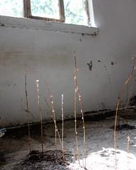 betoniek (betuleka) Tags: outdoor house home plant flower sun sunshine