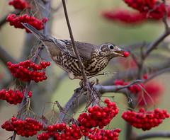 Mistle thrush   Brych y Coed (alunwilliams155) Tags: brychycoed mistlethrush thrush bird feeding berries mountainash