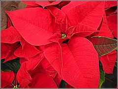 Red Poinsettia .. (** Janets Photos **) Tags: uk christmasplants flowers plants flora poinsettia red