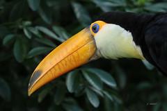 Toekan (K.Verhulst) Tags: toucan toekan birds bird vogels vogel ouwehandsdierenpark ouwehands rhenen