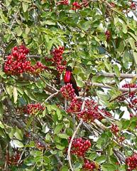 Scarlet-chested Sunbird (Chalcomitra senegalensis) male in Weeping Boer-bean (Schotia brachypetala) (berniedup) Tags: scarletchestedsunbird chalcomitrasenegalensis weepingboerbean schotiabrachypetala sunbird taxonomy:binomial=chalcomitrasenegalensis caesalpiniaceae taxonomy:binomial=schotiabrachypetala kumasingahide umkhuze