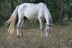 IMG_2609 (dafna talmon) Tags: horses horse costarica orosi    dafnatalmon