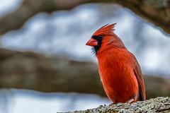 050614-2290080.jpg (jim sonia) Tags: bird birds cardinal pick