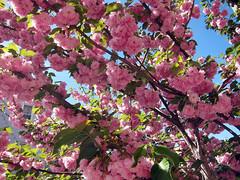 Astoria Cherry Blossoms (Harris Graber) Tags: spring blossoms astoria cherryblossoms springtime canons90