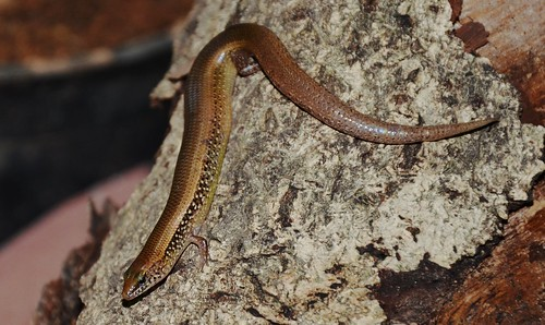 White-spotted Supple Skink (Lygosoma albopunctata)