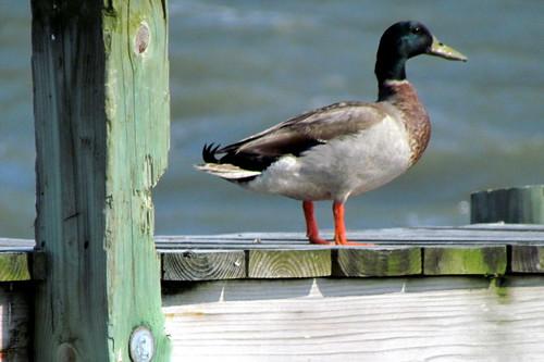 54 Duck Harkers Island NC NC  9760