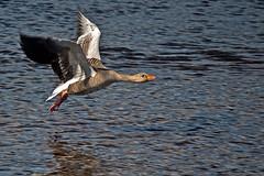 Before Landing (ki) Tags: wild lake bird water canon fly iceland wings flight goose 500d
