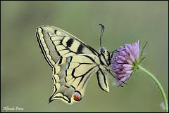 Papilio machaon (alfvet) Tags: macro nikon ngc butterflies natura npc insetti farfalle greatphotographers sigma150 parcodelticino platinumheartaward veterinarifotografi d5100 greaterphotographers greatestphotographers