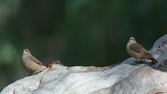 Brown Treecreeper (sunphlo) Tags: pair southaustralia midnorth browntreecreeper climacterispicumnus burragorge