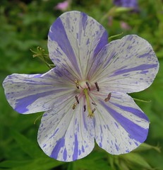 splash (catherine329) Tags: summer flower garden cranesbill hardygeranium