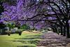 Jacarandas (cortomaltese) Tags: argentina buenosaires december sidewalk jacaranda topv9999 treebranches topf250 treeflowers