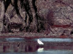 Swamp (gulgulas) Tags: light bird early shadows swamp reddish