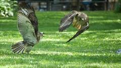 Food Squabble 4 (mausgabe) Tags: nyc hawk centralpark olympus juvenile redtail em1 panasoniclumixg100300mmf4056