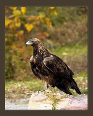 Portrait of Gold (Carolyn Lehrke) Tags: wild usa nature birds woods nikond100 explore wv eagles raptors goldeneagle