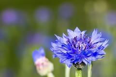 blaue Blüten (thomaskappel) Tags: blaue blten