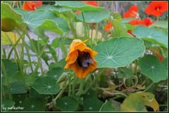 IMG_3257a (mefeather) Tags: dahlia flowers animals leiden pond waterlily insects bee bumblebee fishes hommel botanicalgarden dieren vissen hortusbotanicus bloemen cornflower bij insekten vijver korenbloem waterlelie botanischetuin hortusbotanicusleiden