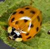 Harlequin ladybird Harmonia axyridis (6) (Ben Grader) Tags: england macro closeup bug insect leaf sony beetle somerset ladybird tamron pupa larva clevedon wessex harmoniaaxyridis harlequinladybird dioptre slta77