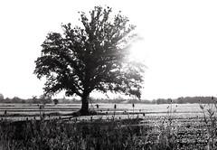 52:320TXP - Week 27 - The Lone Tree Revisited (Alex Luyckx) Tags: bw ontario canada tree film rural sunrise project landscape drive blackwhite village kodak trix 14 country commute 4x5 milton largeformat graflex speedgraphic filmphotography 320txp omagh trixpan tmaxdeveloper kodaktrixpan sheetfilm asa320 anniversaryspeedgraphic pentaxspotmeterv believeinfilm kodakektarf77203mm 52rollsnet 52320txp 52sheetproject