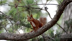 Sciurus vulgaris . Red squirrel  _4057 (antarc foto) Tags: squirrel catalunya ardilla eichhörnchen scoiattolo vulgaris écureuil 松鼠 matadepera リス esquirol sciurus سنجاب गिलहरी