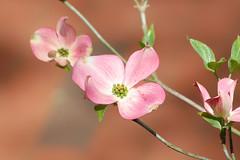 Pink_dogwood (Sarah Hina) Tags: pink blossom dogwood