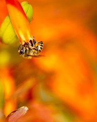 Bee Two (Danny Perez Photography) Tags: california park ca flowers abejas plants plant flower macro green nature gardens garden insect losangeles wings nikon bees insects bee abelha inseto micro ape nectar pollen nikkor abeja insekt honeybee abeille bij insetto biene insecto honeybees 105mm insecta   pollinator  apoidea pollinators   105mmf28gvrmicro 105mmf28gedifafsvrmicronikkor   nikonmicro