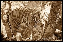 Sumantran tiger and cub (miacat63) Tags: london tiger tigers cubs endangered sumatran melati jaijai zsl miacat63
