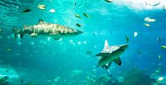 sharknado (santoshsurneni photography) Tags: fish toronto canada water aquarium marine aqua stingray sony ripleys sharks alpha nex
