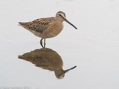 Short billed dowitcher (Gene Herzberg) Tags: canada newfoundland shorebird renews