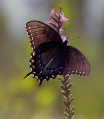 Spicebush Swallowtail 1 (jim324w) Tags: plant nature photo nikon outdoor alabama picture pitcher rabun baldwincounty splinterhillbog