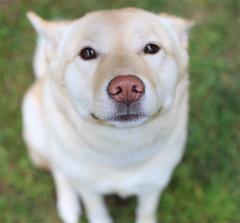 Puppy eyes (HelloEssie) Tags: dog korean jindo