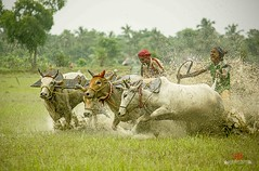 || LAST GLORY || (Sankalan786) Tags: india green sports race rural speed canon intense village mud fierce ngc bulls kolkata canning westbengal ruthless greatphotographers bullrace 550d 55250 sankalan colorfullaward extraordinarilyimpressive moichara sankalabanikphotography