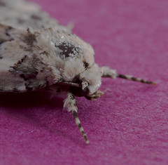 """Marbled Beauty """"Cryphia domestica"""" (kketelsen1) Tags: macro beauty bug insect flying nikon moth sigma marbled winged f28 domestica 150mm d3200 cryphia"""