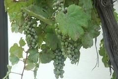 140823_Kellerkatzenweg_068 (weisserstier) Tags: plant fruit pflanze frucht niedersterreich wein vitis obst kellergasse weinrebe loweraustria weinviertel weintraube hollabrunn vitisvinifera kellerkatzenweg
