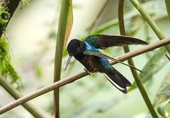 Velvet-purple Coronet (ashahmtl) Tags: bird ecuador hummingbird coronet province mindo pichincha boissonneauajardini velvetpurple