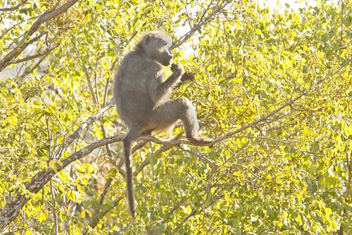 Baboon gorging on Fruit _2769