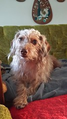 Honey (tiffanycsteinke) Tags: honey dachshund poodle mix doodle wirehair dog wheatonwirehairdachshund