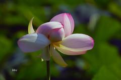Egyptian Lotus (bbic) Tags: park pink summer flower petals lotus