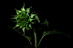 Developing Beauty (Crux_VII) Tags: plant lightpainting flower green sunflower thechallengefactory