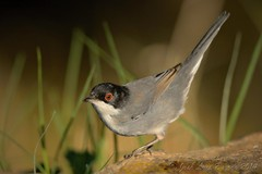 Toutinegra-dos-valados | Sylvia melanocephala | Sardinian warbler (JosBar - 1,2M Tkx... ;-)) Tags: o fixe muitos