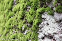 Moosbewachsene Mauer (bennithomas98) Tags: summer macro green nature thomas sommer natur benjamin grün makro moos mauer weich bewachsen organismus benni98 bennithomas98