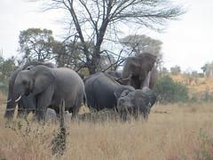 Krugerpark (jen&co) Tags: southafrica elefant krugerpark olifant 2014 zuidafrika