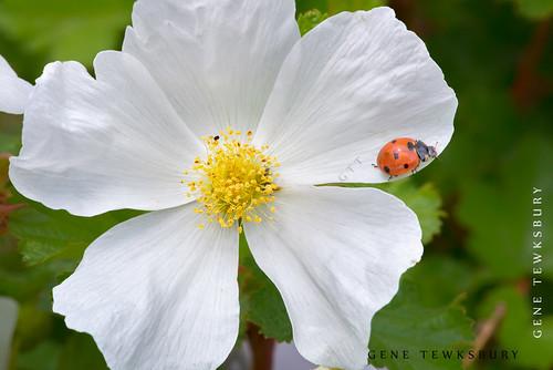 wildflowers_0082_05-30-14-tewksbury-Edit