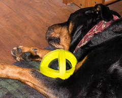 sleepy Vincent (RCB4J) Tags: birthday dog art photography scotland play unitedkingdom vincent 9 games rottweiler presents obedience rottie ayrshire blackandtan galston sonydt18250mmf3563 sonyslta55v ronniebarron rcb4j