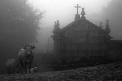 1643 Vindas do alm. (orxeira) Tags: co portugal pb rua cemitrio vaca 1643 aldeia trsosmontes 2014 capela montalegre barros paredesdorio agosto14 orxeira agosto2014 orxeiraagosto14 1643643
