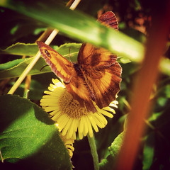 image (Alice.Hill_xo) Tags: flower green nature up yellow butterfly close dandilion