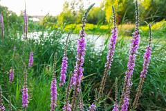 Color Junto al Ebro (raulgorta) Tags: bridge flowers sunset flores verde green ro river puente atardecer purple zaragoza ebro prpura