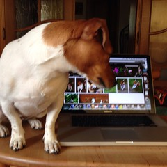 Maya looking at the pictures I took of her (piba3249) Tags: dog pet animal jack russell maya terrier