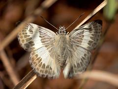 Sophista latifasciata (Rodrigo Conte) Tags: brazil brasil butterfly